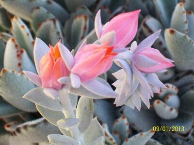 Echeveria in flower