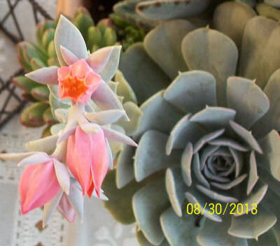 Another view of the echeveria flower