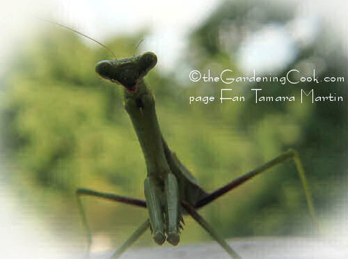 extreme close up of praying mantis