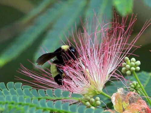 Honey bee on a Mimosa tree bloom