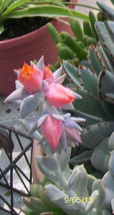Final display of echeveria flower