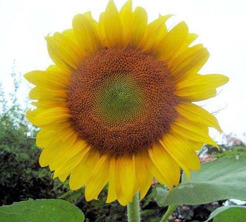 Sunflower in my test garden