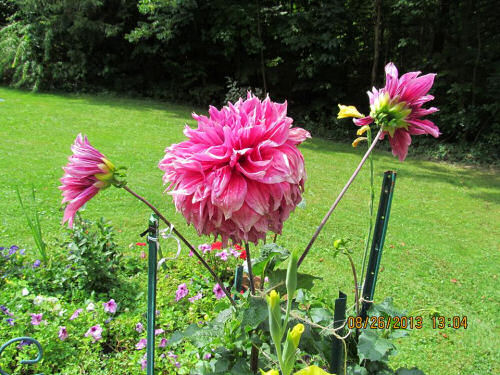 Dinner plate dahlia & Dinner Plate Dahlias are Sure to be the Stars of your Garden - The ...