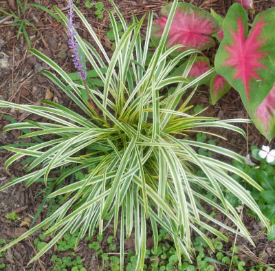 Liriope care how to grow monkey grass tips for growing for Variegated grass plant