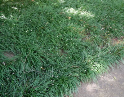 Liriope as a ground cover