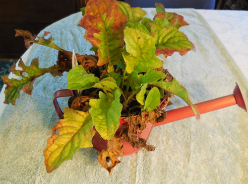 Shasta daisy planter almost dead