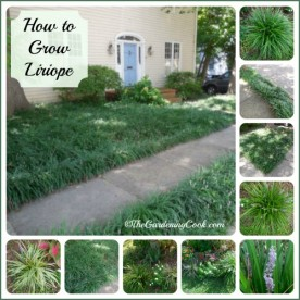 How to grow Liriope - Great ground cover or border plant
