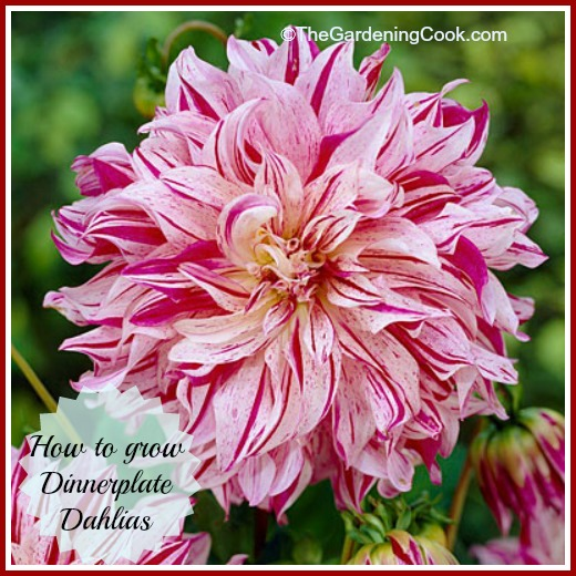 How to grow Dinner plate Dahlias