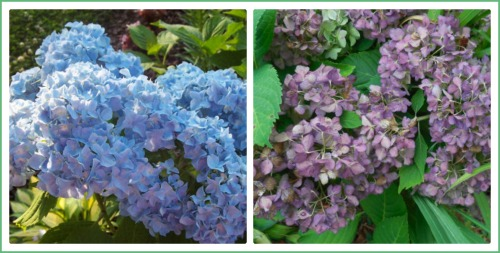 Hydrangea mid summer and late fall