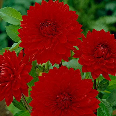 Dinner Plate Dahlia Babylon Red