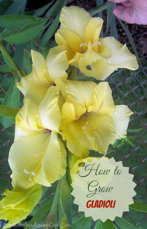 How to grow beautiful gladioli
