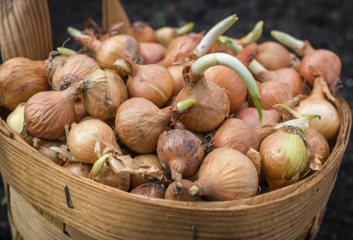 basket of sprouted onions