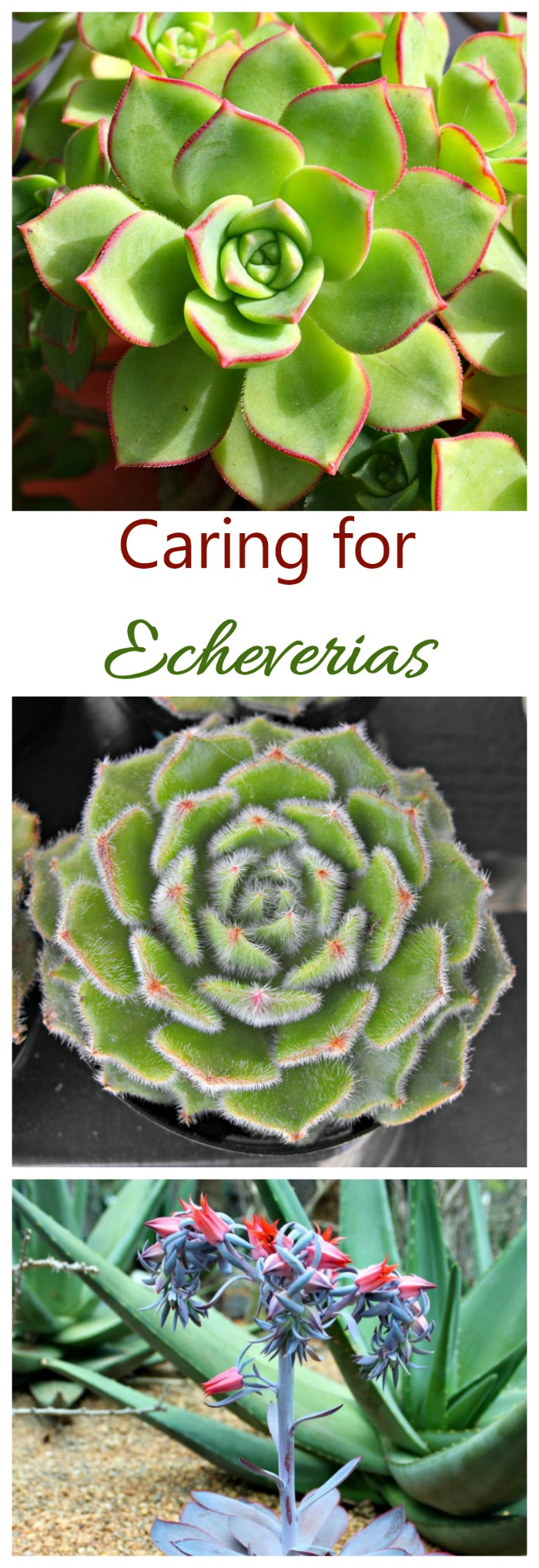 Caring for echeveria is easy. Watch the sunlight and water a bit and let it grow. click through to see my growing tips