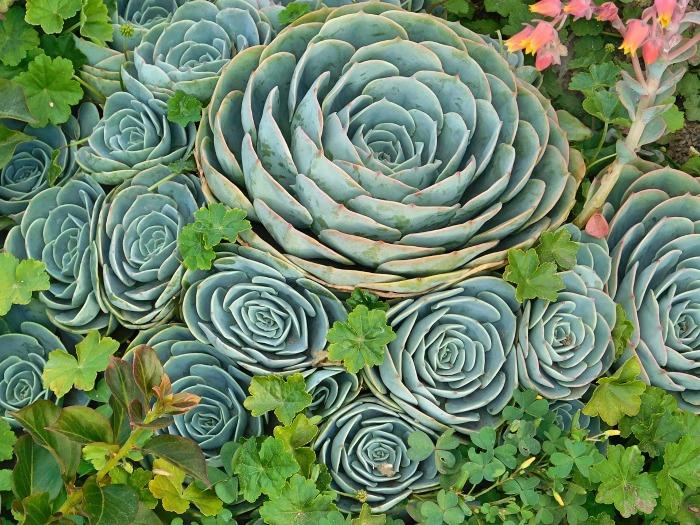 mature echeveria plant with babies