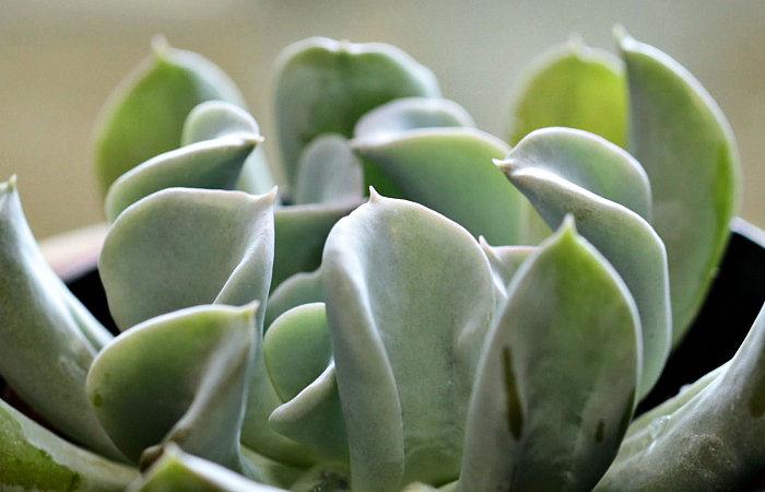 echeveria topsy-turvy leaves