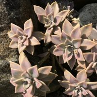 How to care for echeverias