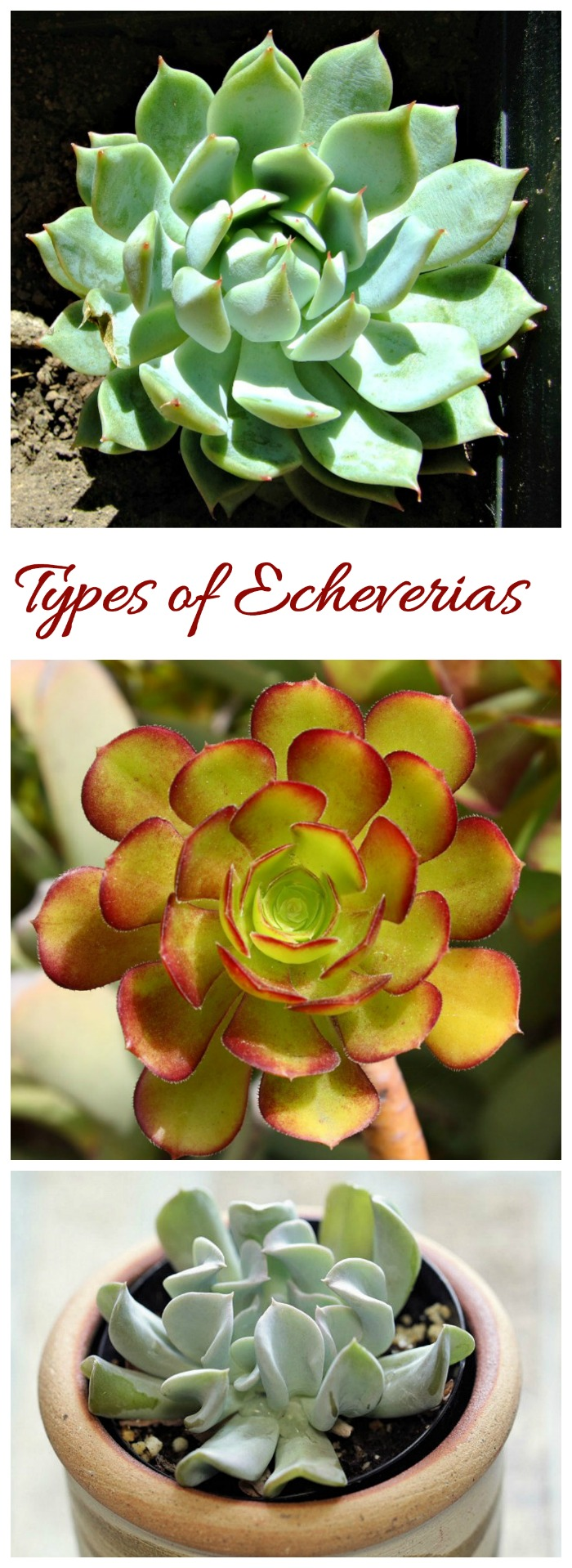 Echeverias identification. See various types of this succulent by name.