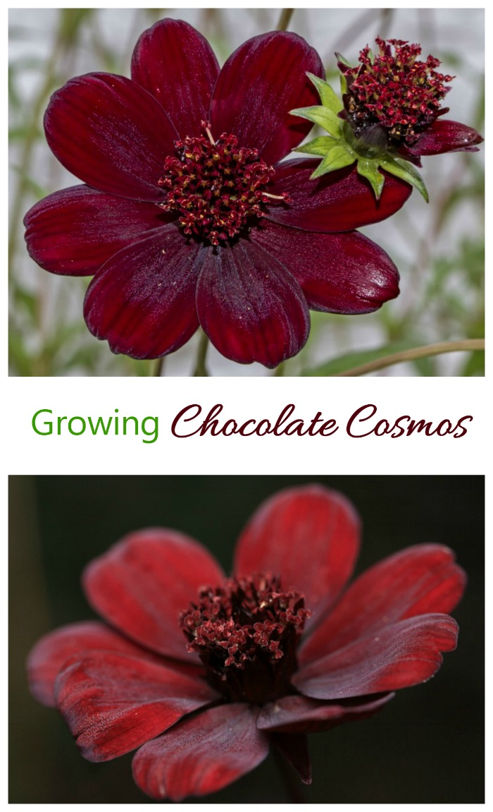 Chocolate is not just for snacking. This lovely plant is called Chocolate Cosmos. It has a reddish chocolate color and light vanilla fragrance that gets stronger as the day goes one. See how to grow it on The Gardening Cook