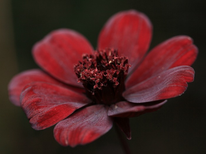 Opening center of a chocolate cosmos