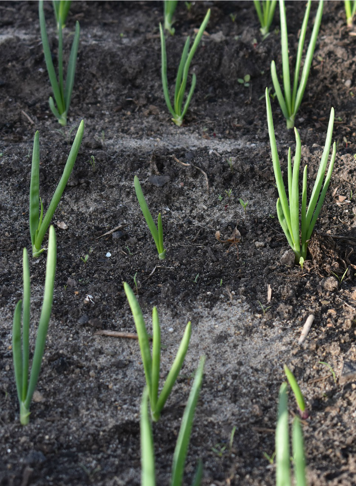 Onions growing in soil