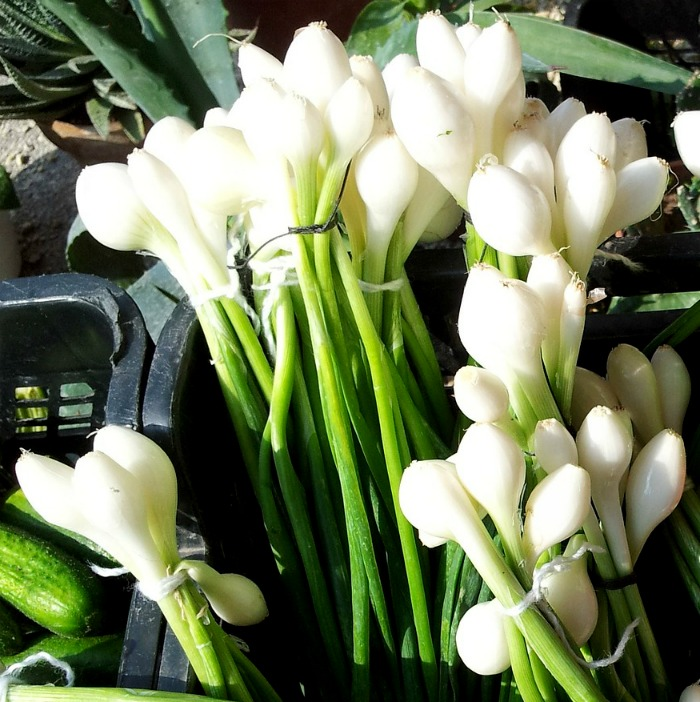 Spring onions in tubs