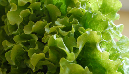 Lettuce make a great cut and come again vegetable