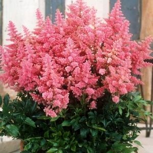 Country and Western Astilbe