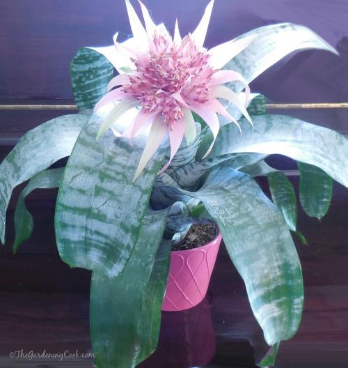 Bromeliad Aechmea Fasciata - long lasting tropical plant