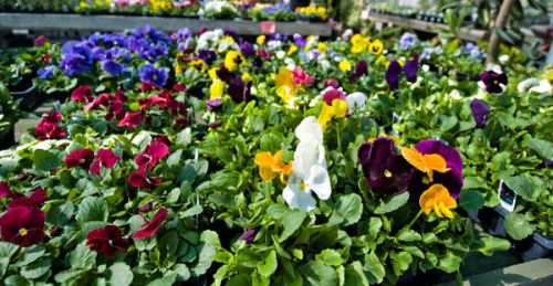 pansies from the garden center