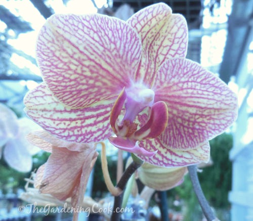 Variegated Moth orchid - Phalaenopsis