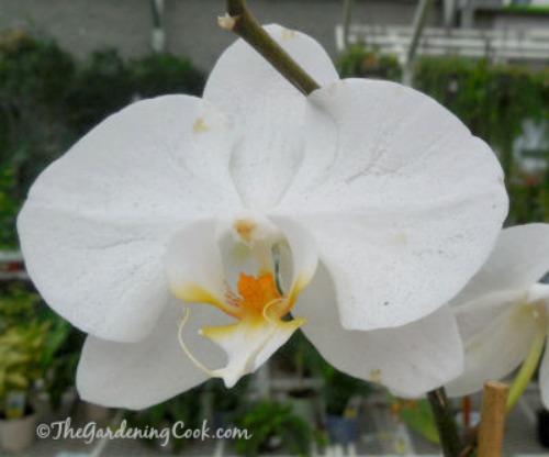 White Moth orchid - Phalaenopsis