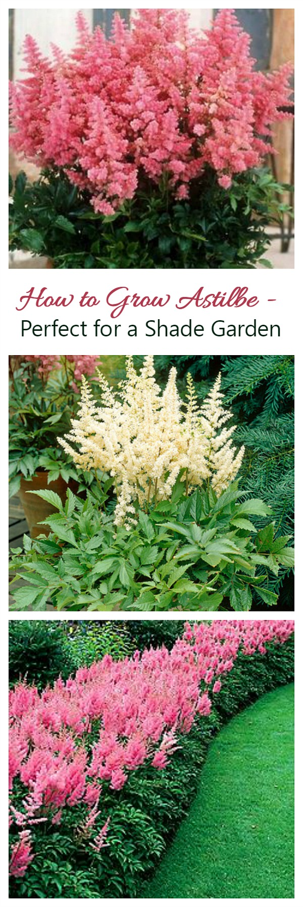 Growing Astilbe False Spirea How To Grow And Care For Astilbe