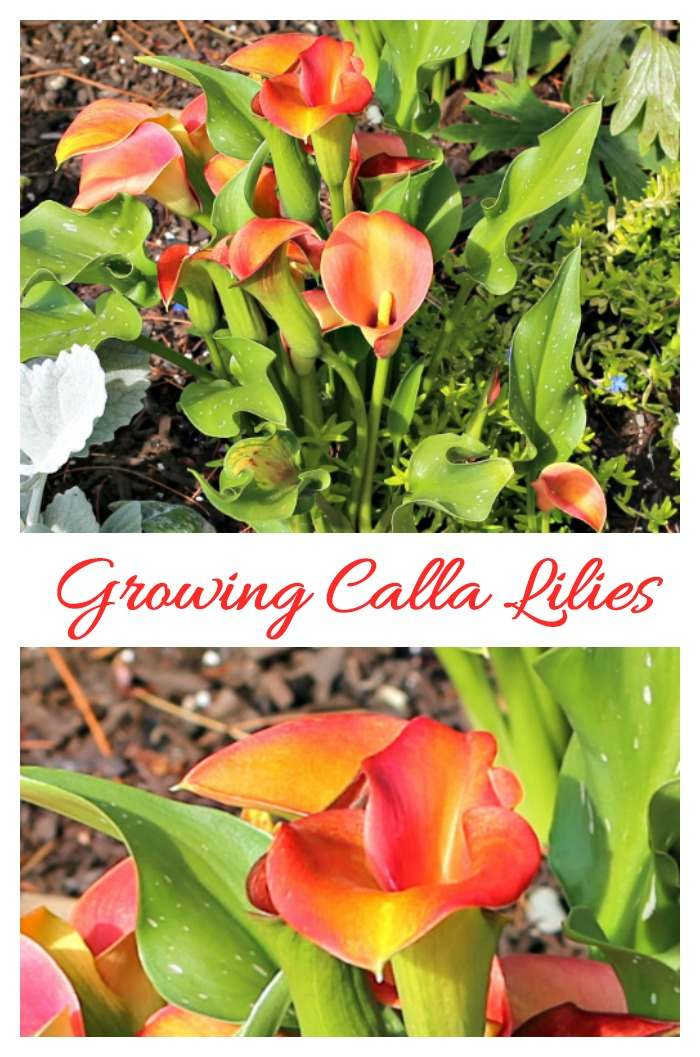 Tips for growing calla lilies