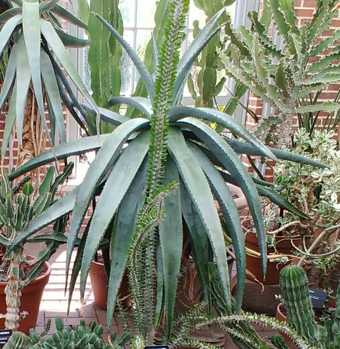 Huge aloe plant at the Cactus collection in the Linnean house of the Missouri Botanical Gardens