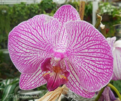 Deep pink variegated Moth orchid - Phalaenopsis