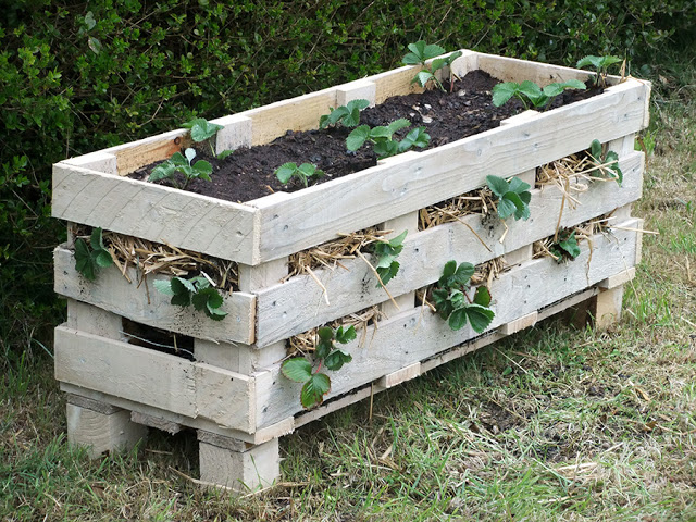 Strawberry planter made from a pallet.