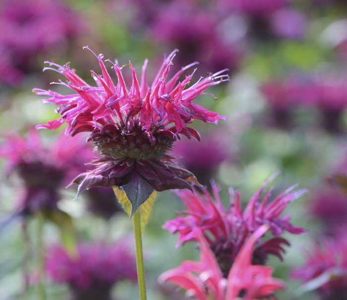 bee balm is a plant that swallowtails love