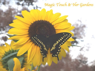 Giant Sunflower and female Swallowtail from magictouchandhergardens.wordpress.com