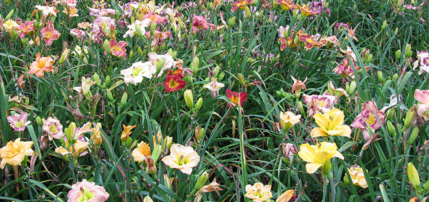 Daylilies of the Valley on Facebook.