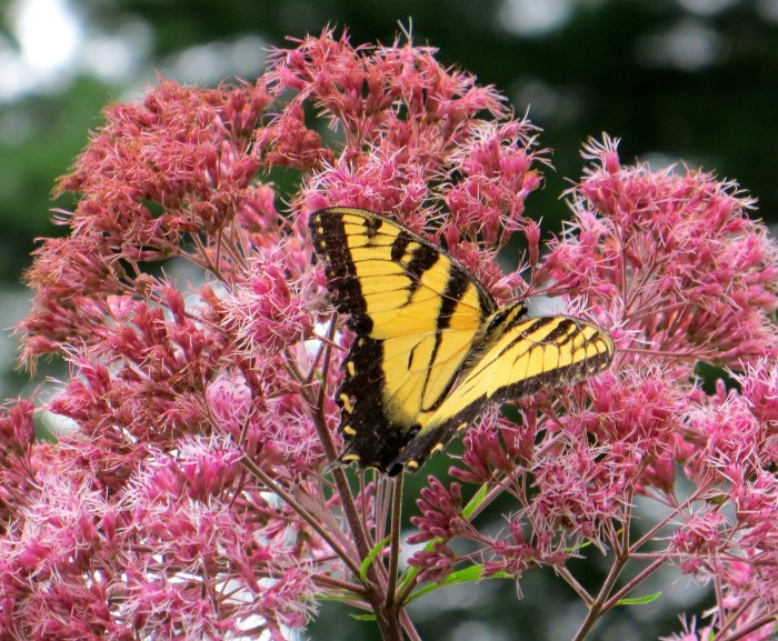 Joe Pye Weed And Butterfly