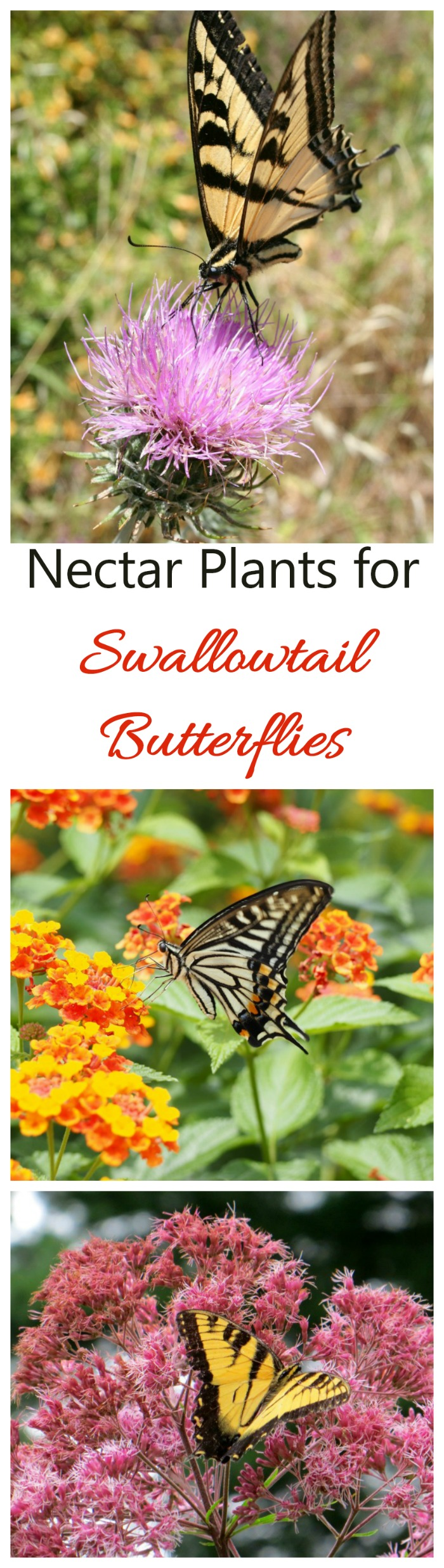 These swallowtail nectar plants are like a magnet for the pretty butterflies