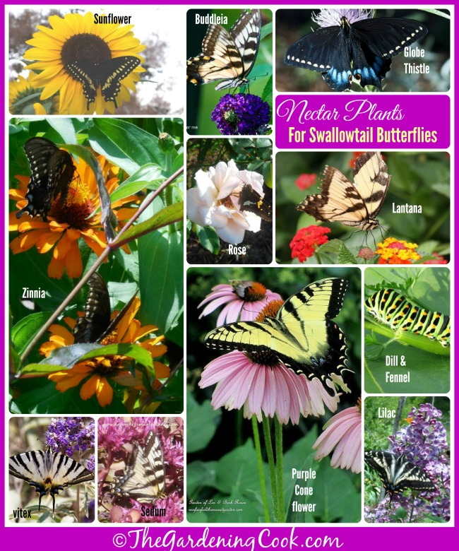 If You Want To Attract Swallowtail Butterflies To Your Yard This Year,  Plants Some Of