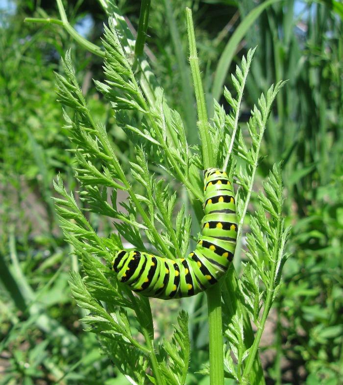 Caterpillars love parsley