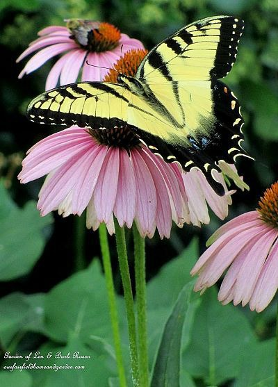 Swallowtail feasting on coneflowers by ourfairfieldhomeandgarden.com
