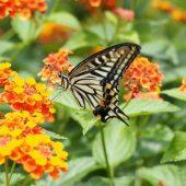 swallowtail butterfly on lantana