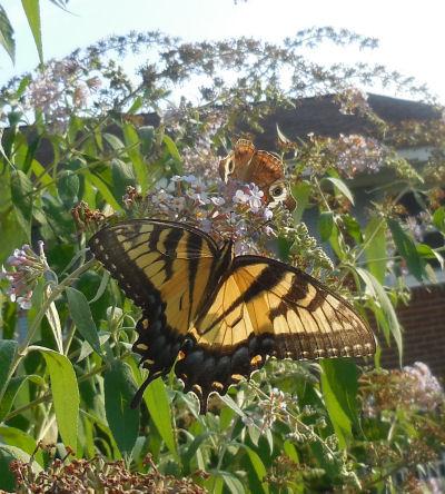 swallowtailonbutterflybush