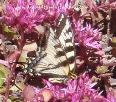 """Swallowtails love Sedum spurium """"dragons blood"""" by droughtsmartplants.com"""
