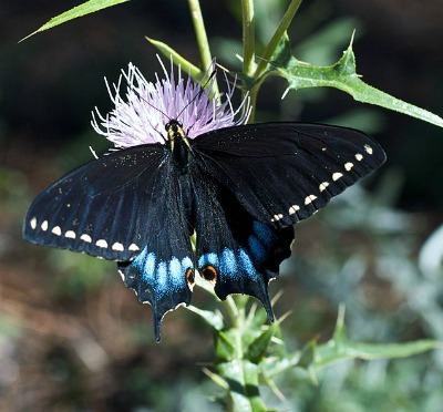 Grand Canyon Swallowtail feasting on a thistle flower