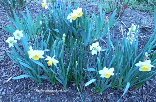 Daffodils in full bloom