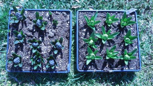 Hyacinths in flats